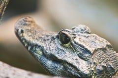 Aligator w kamuflażu Zdjęcie Royalty Free