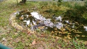 Aligator w lasowym stawie zdjęcie royalty free