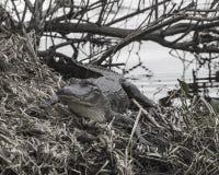 Aligator w roślinności Zdjęcia Royalty Free