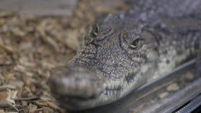 Aligator w terrarium kajman Krokodyl zdjęcie wideo