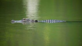 Aligator w wodzie Fotografia Royalty Free
