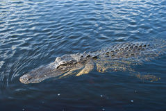 Aligator w wodzie obraz stock