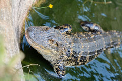 Aligator w wodzie Obraz Royalty Free