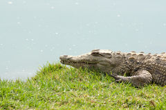 Aligator waiting Stock Photo