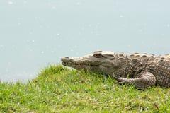 Aligator waiting Stock Photo