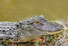 Aligator Stock Image