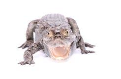 aligatora agresywny biel Obrazy Stock