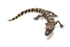 aligatora amerykanin Obrazy Royalty Free