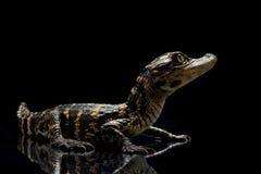 aligatora amerykanin Zdjęcia Royalty Free