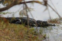 aligatora amerykanin Obrazy Stock