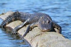 aligatora amerykanin Zdjęcie Stock