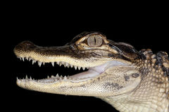 aligatora amerykanina dziecko Fotografia Stock