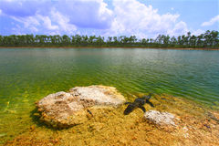aligatora amerykanina mississippiensis fotografia royalty free