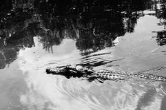 Aligatora atak! Obraz Stock