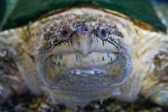 Aligatora chapnąć żółw, Macrochelys temminckii obrazy stock