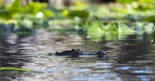 Aligatora dopłynięcie leluja ochraniaczami w Okefenokee bagnie zdjęcia stock