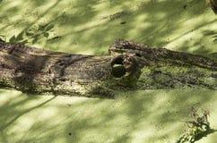 Aligatora fiszorek Obraz Stock