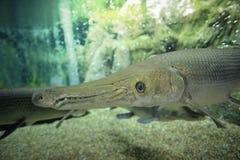 Aligatora gar Zdjęcia Stock
