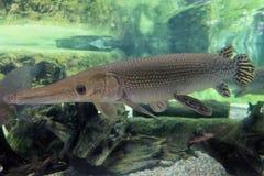 Aligatora Gar w akwarium Obraz Stock