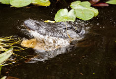aligatora gryzienie Zdjęcie Royalty Free