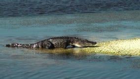 Aligatora odprowadzenie zbiory