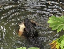 aligatora polowanie fotografia stock