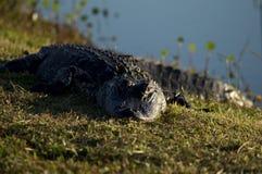 Aligatora Sunning obraz royalty free
