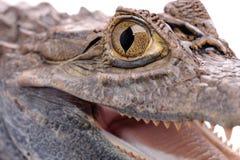 aligatora tła biel Fotografia Stock