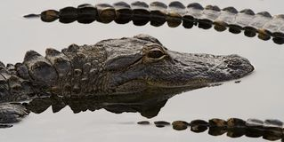 aligatorach Obraz Royalty Free