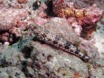 AligatorFish photographie stock libre de droits