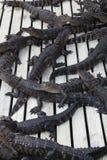 aligators佛罗里达 库存照片