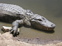 Aligators Stock Photo