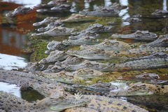 Aligators. Many aligators in a pond Stock Photography