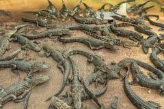 Aligators nell'azienda agricola dell'alligatore dei terreni paludosi florida Immagine Stock Libera da Diritti