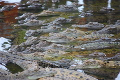 Aligators. Picture of an aligator in the water Stock Images