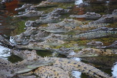 Aligators. Picture of an aligator in the water Royalty Free Stock Image