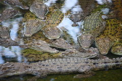 Aligators. Picture of an aligator in the water Royalty Free Stock Images