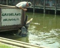 Aligators que introducen de Gatorland Imagenes de archivo