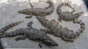 Aligators refroidissant ci-dessous Photos stock