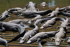 Aligators Sunning Royalty Free Stock Photo