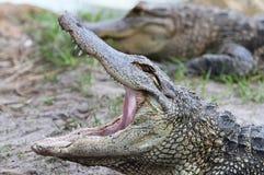 aligatorskrokodileverglades florida Arkivfoton