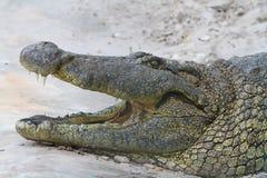 aligatorskrokodileverglades florida Arkivbild
