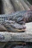 aligatory Zdjęcie Stock