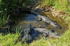 aligatory Obraz Stock