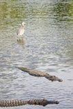 aligatory amerykańscy Obrazy Royalty Free