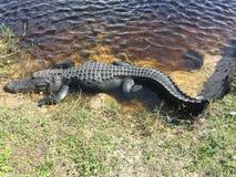Aligatory w alei Fotografia Stock