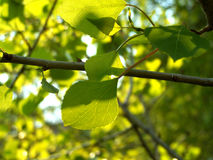 Alight leaves. On the tree Stock Photography