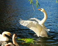 Alighted swan Stock Photography