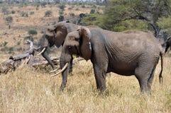 Aligned elephants royalty free stock photo