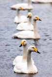 Aligned Swans couples Stock Photos